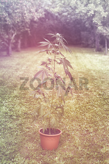 Cannabis plant in flowerpot outdoors