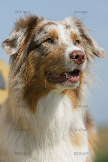 close-up of an Australian shepherd puppy