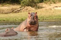 Hippo is watching you