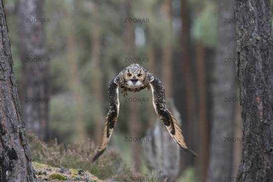 owl in flight... Indian Eagle Owl, frontal shot *Bubo bengalensis*