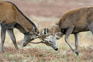 Red Deer Stags (Cervus elaphus)