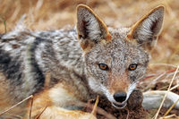 blackbacked Jackal eating a mouse, south africa, wildlife