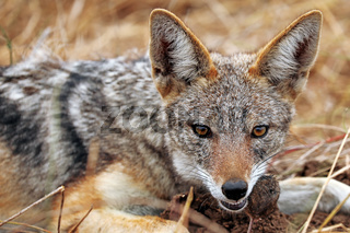 Schabrackenschakal frisst eine Maus im Kruger Nationalpark Südafrika; blackbacked Jackal eating a mouse, south africa, wildlife