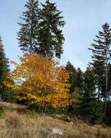 Autumn landscape maple