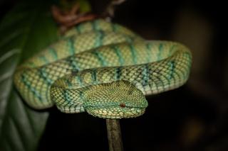 Pit Viper in Bako National Park Borneo, Malaysia