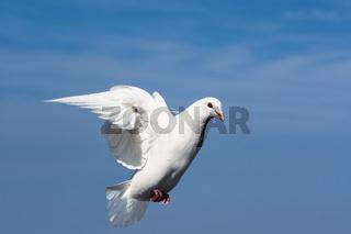 white dove closeup