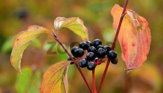 Roter Hartriegel, Hartriegel, Cornus sanguinea, Fruchtstand