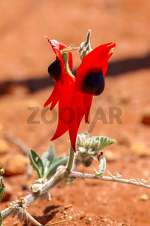 Close up of Sturts desert pea, wonderful wildflower and floral emblem of South Australia
