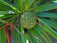 An closup of an Okinawan  Adan fruit on the tree