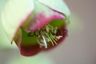 Stinkende Nieswurz, Helborus foetidus, Stinking hellebore