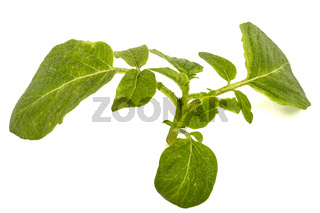 Leafs of potato, isolated on white background