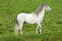 Beautiful white horse on the meadow