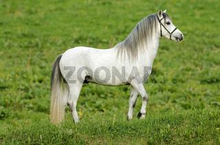 Schönes weisses Pferd auf der Wiese