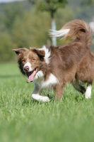 running brown border collie