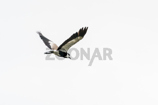 Spur-winged Lapwing in mid flight