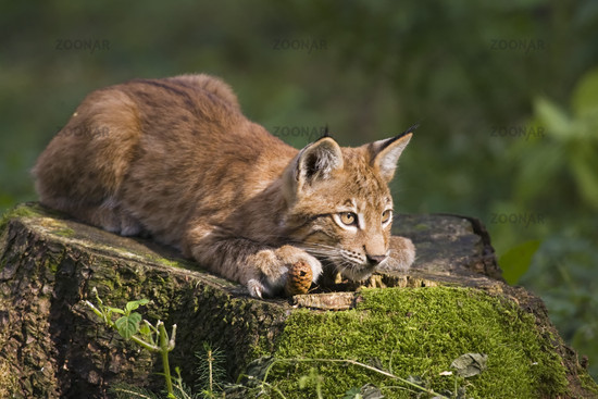European lynx, bavaria, germany
