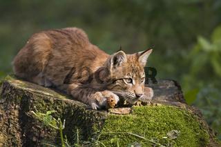 Europaeischer Luchs (Lynx lynx), Jungtier, Bayern, Deutschland, young European lynx