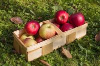 Fresh apples in a wooden basket