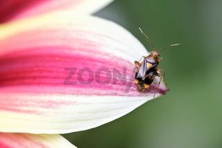 Gepunktete Nesselwanze  (Liocoris tripustulatus)