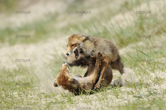 in hard fight... Red Foxes *Vulpes vulpes*