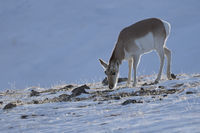 feeding on sparse grass... Pronghorn *Antilocapra americana*