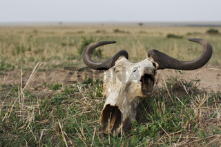 Wildebeest skull lying in the Masai Mara