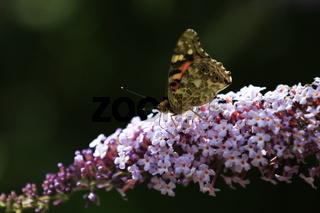 Buddleja davidii, Schmetterlingsflieder mit Distelfalter