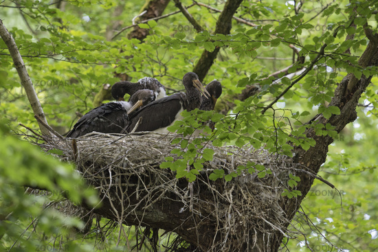 moulting... Black Storks  *Ciconia nigra*