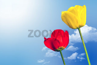 zwei Tulpen vor Himmel