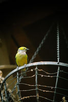 bird in yellow against a dark background