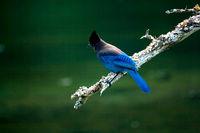 Stellar Jay Bird on Branch