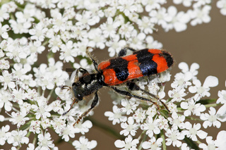 Bienenwolf, Trichodes apiarius, beetle