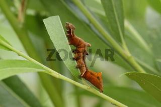 Zickzackspinner (Notodonta ziczac)