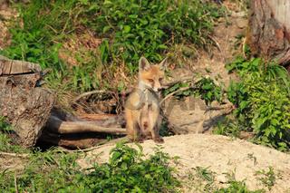 Junger Fuchs vor dem Bau