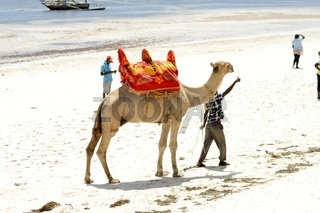 Dromedary on the beach