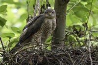 sharp eyes... Sparrowhawk *Accipiter nisus*
