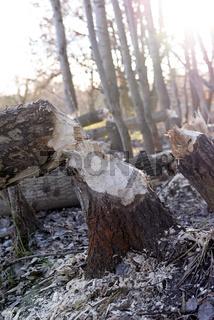 Biberfraß     beaver tracks in the forest