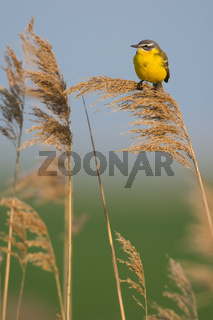 Schafstelze in Ungarn