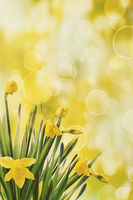spring daffodils with bokeh background