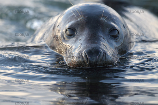 Grey Seal Helgoland