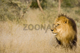 Loewe (Panthera leo), maennlich, Namibia, Afrika, male Lion, Africa