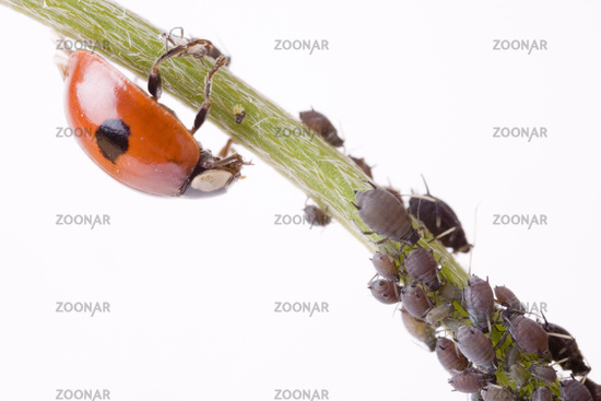 two spotted lady beetle (Adalia bipunctata) with  greenfly (Aphidoidea)