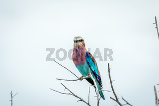 Lilac-breasted roller sitting on a branch.