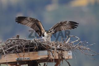 Fischadler junges im Nest