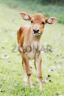 Sehr junges Rinderkalb