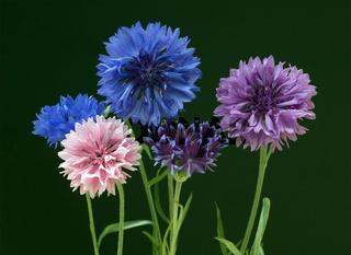 Kornblume; Centaurea; cyanus; Ackerpflanze