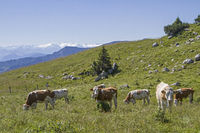 Cow herd on a mountain meadow