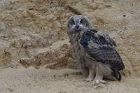 watching... Eurasian Eagle Owl *Bubo bubo*