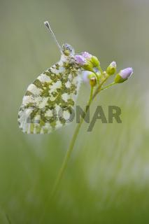 Aurorafalter, Anthocaris-cardamines, weibchen