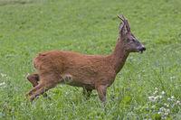 Roebuck on green meadow